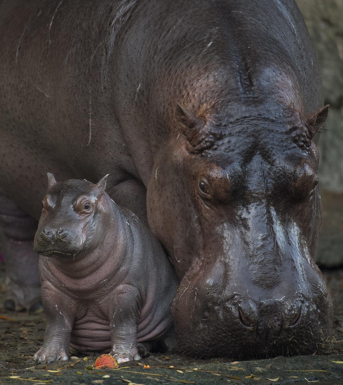 Baby Hippo Born at DisneyÕs Animal Kingdom is a Boy
